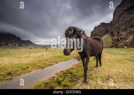 Icelandic Horse in the Iceland landscape - Stock Photo