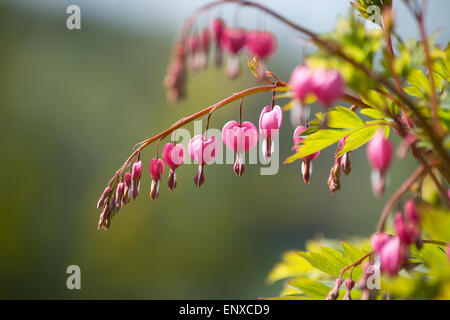 Pink bleeding heart flowers (Dicentra) on a bush closeup in May garden. - Stock Photo