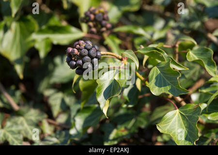 english ivy common ivy hedera helix 39 goldheart 39 hedera. Black Bedroom Furniture Sets. Home Design Ideas