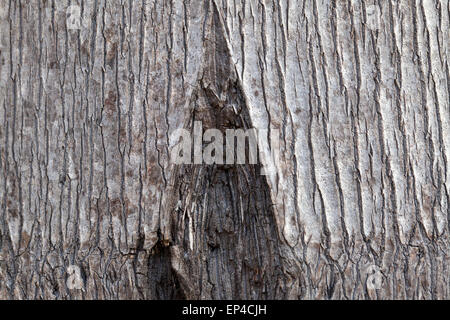 Patterns in the bark of a Queen Palm tree - Stock Photo