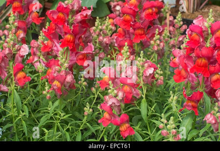 Red and pink snapdragon flowers, Antirrhinum majus, closeup in May. - Stock Photo