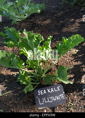 how to grow sea kale
