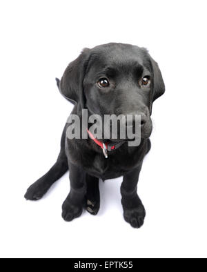 Cute black Labrador Retriever puppy looking up cut out isolated on white background - Stockfoto