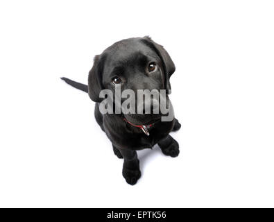 Cute black Labrador Retriever puppy looking up cut out isolated on white background - Stock Photo