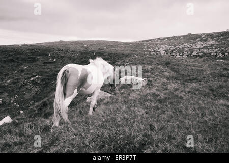 Wild horse in the Brecon Beacons National Park, Wales, UK - Stock Photo