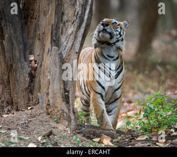 Bengal Tiger looking up a tree - Stock Photo