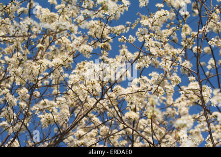 Wild plums blooming with clusters of white blooms against blue spring sky, spreading pollen in the air - Stock Photo
