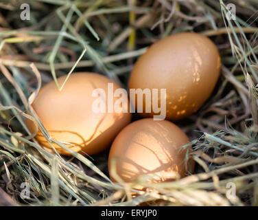 Three brown chicken eggs lying in straw - Stockfoto