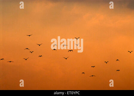 Wild ducks flying in sky at sunset ; Pune ; Maharashtra ; India - Stock Photo