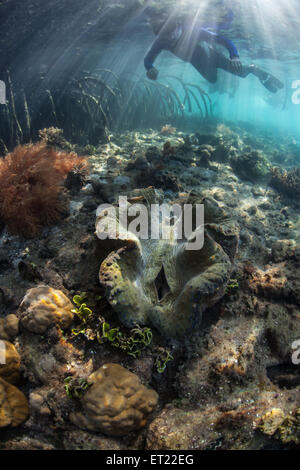 A giant clam (Tridacna gigas) grows on a shallow reef on the edge of a mangrove forest in Raja Ampat, Indonesia. - Stock Photo