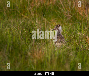 Northern Lapwing chick (Vanellus vanellus) hiding in the moorland grass - Stock Photo