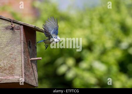 blue-tit-parent-parus-caeruleus-emerging-from-a-garden-nestbox-having-etftcg.jpg