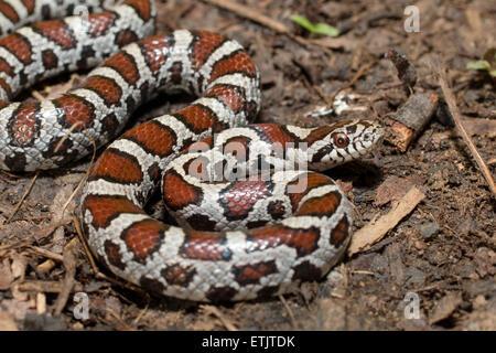 milk snake, eastern milk snake (Lampropeltis triangulum ...