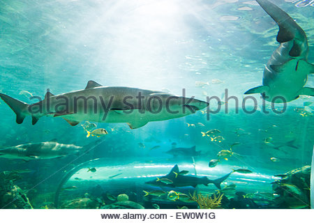 Sharks in Ripley's Aquarium, sharks are a group of fish characterized by a cartilaginous skeleton, five to seven - Stock Photo