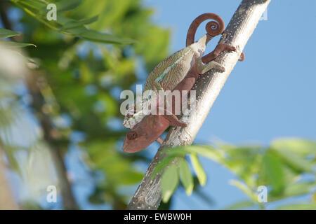 Mating  Panther Chameleons (Furcifer pardalis) Maroantsetra, Madagascar - Stock Photo