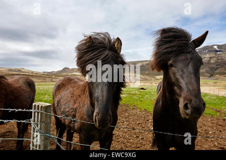 icelandic horses iceland - Stock Photo