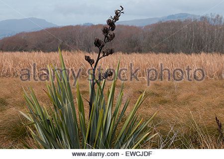 Native new zealand flax plant formium canterbury new for Grow landscapes christchurch