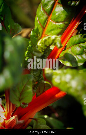 Rhubarb growing in an allotment - Stock Photo