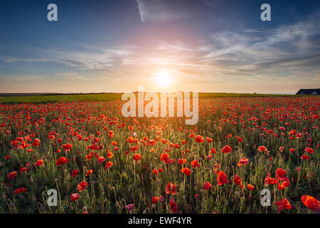 Sunset over a field of Poppies - Stock Photo