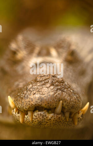 Caiman crocodilus. Zoo ave. Alajuela. Costa Rica. America - Stock Photo
