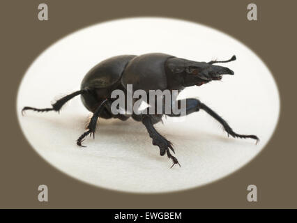 Beetle Krawczyk-holovatch (lat. Lethrus apterus) is a beetle of the family of the dung beetles burrowing animals - Stock Photo