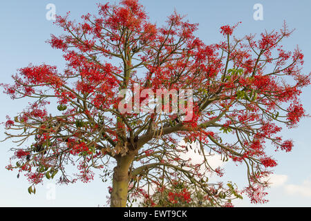 The Australian Brachychiton acerifolius, commonly known as the Illawarra Flame Tree, flowering in summer on a bare - Stock Photo