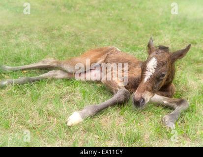 Newborn Appaloosa foal minutes after birth. - Stock Photo