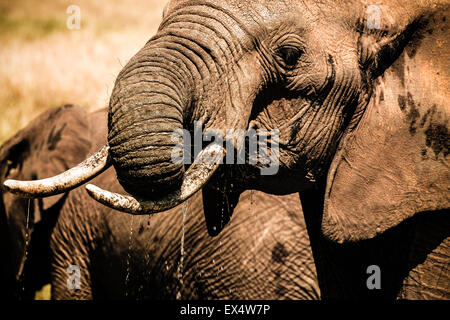 Close-up of an African elephant (Loxodonta africana) playing and drinking water in Masai Mara Kenya - Stock Photo