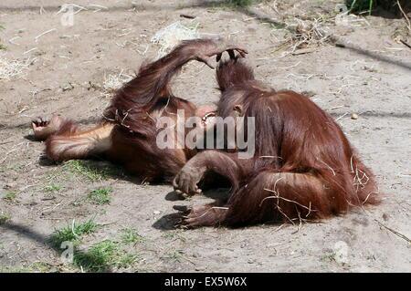 Two young  male Bornean orangutans (Pongo pygmaeus) wrestling each other - Stock Photo