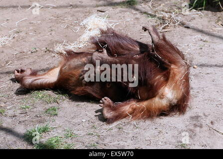 Two Young  male Bornean orangutans (Pongo pygmaeus) playing with each other and wrestling - Stock Photo