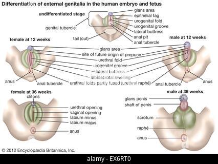 External genitalia in human embryo and fetus - Stock Photo