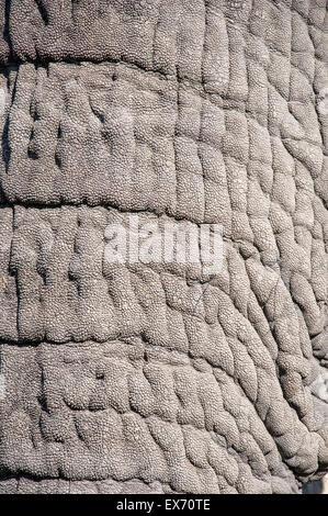 African Elephant Trunk Close Up, Okavango Delta, Botswana, Africa - Stock Photo