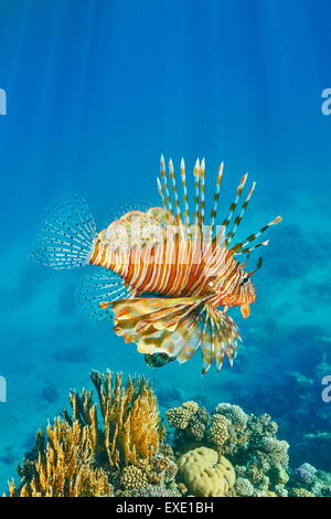 Lionfish over Reef, Pterois volitans, Dahab, Sinai, Red Sea, Egypt - Stock Photo