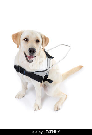 Guide dog for the blind cut out isolated on white background - Stockfoto