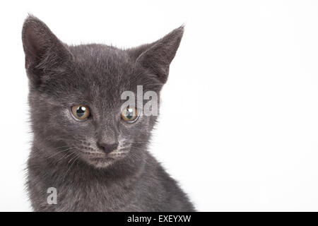 Small gray British cat - Stock Photo