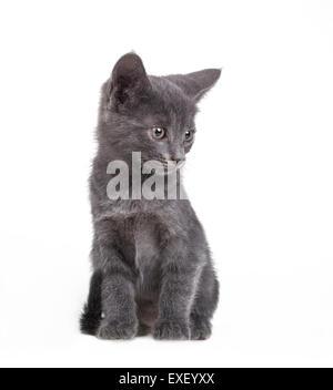 Small gray British cat - Stock Photo