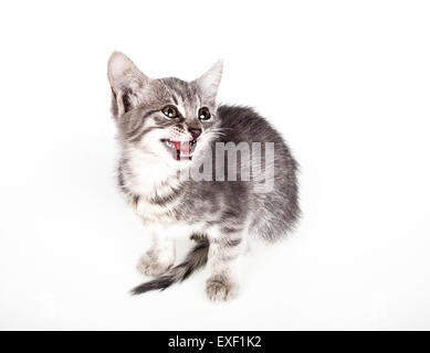 Small gray kitten - Stock Photo