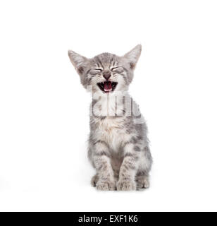 Small gray kitten - Stock Photo