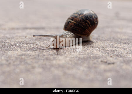 Snail crawls on sand Close-up - Stock Photo