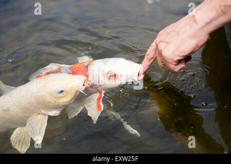 Koi or gold fish in a pond with a water lily stock photo for Black and gold koi fish