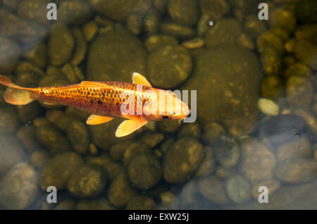 Koi Or Gold Fish In A Pond With A Water Lily Stock Photo