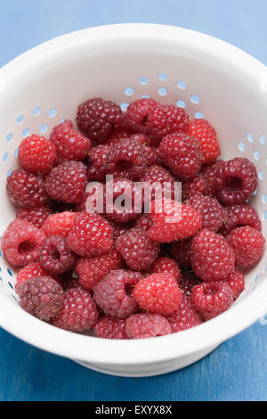 Rubus idaeus 'Autumn Bliss'. Freshly picked red berries in a colander. - Stock Photo