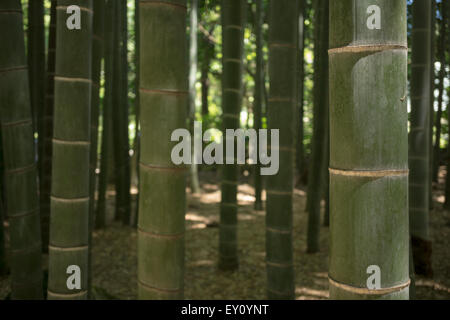 Green stems in a shadowy bamboo forest - Stock Photo