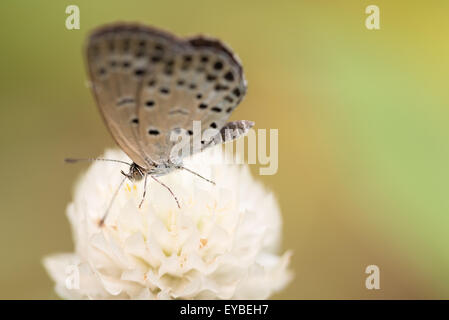 A macro shot of a white 'Pale Grass Blue' butterfly on a white globe amaranth flower. - Stock Photo