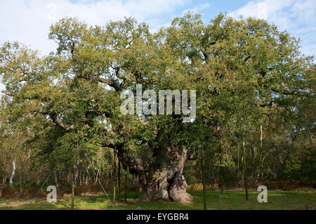 The Major Oak in Autumn at Sherwood Forest National Nature Reserve, Edwinstowe Nottinghamshire England UK - Stock Photo