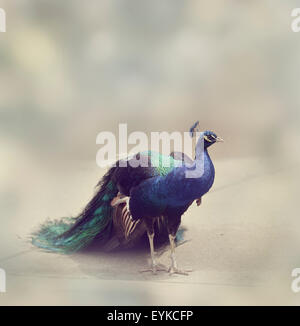 Portrait  of Male Indian Peafowl - Stock Photo