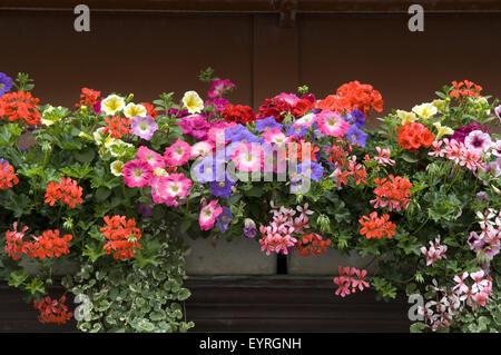 balkonblumen surfina geranien stock photo royalty free image 85955233 alamy. Black Bedroom Furniture Sets. Home Design Ideas