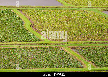 Taro fields in Hanalei National Wildlife Refuge, Hanalei Valley, Kauai, Hawaii, United States of America, Pacific - Stock Photo