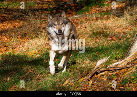 European gray wolf (Canis lupus lupus), running in a meadow at the forest edge, Germany, Bavaria, Bavarian Forest - Stock Photo