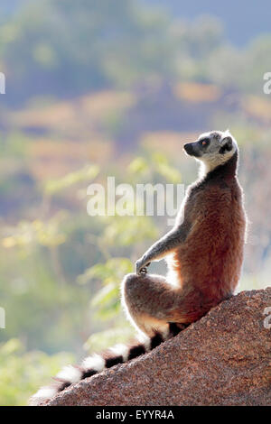 ring-tailed lemur (Lemur catta), sitting on a rock staring into the distance, Madagascar, Andringitra National Park - Stockfoto